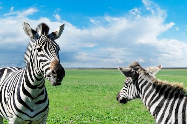 Zebra mom and baby in natural habitat.
