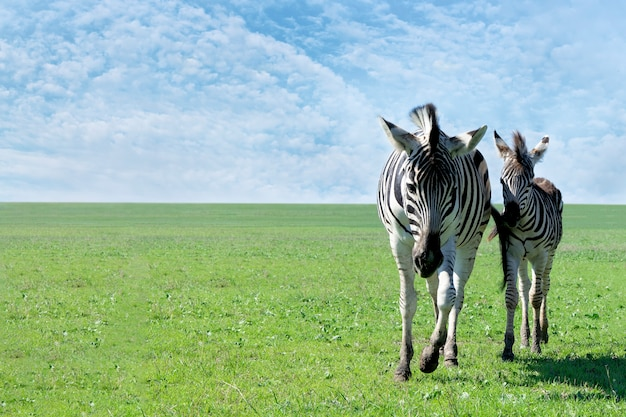 Zebra mom with her baby in grassland.