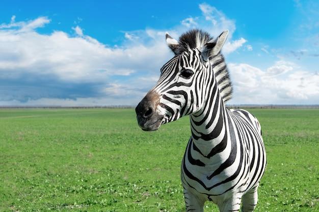 Zebra in natural habitat in nature