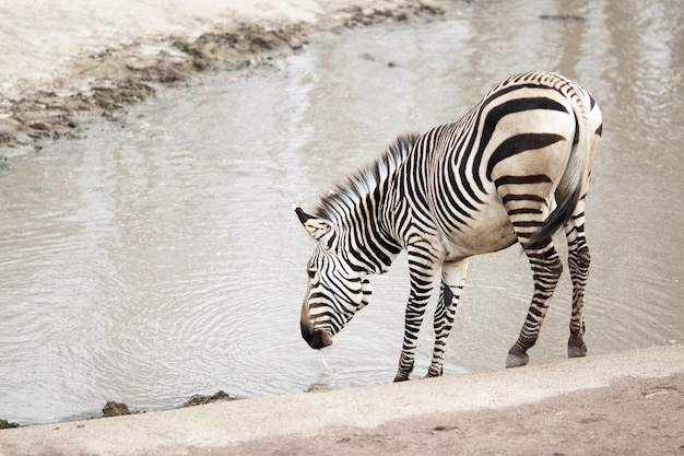 Zebra near a dirty lake under the sunlight