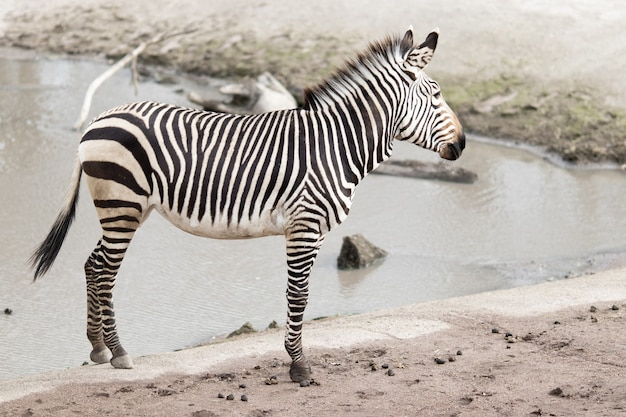 Zebra vicino a un lago sporco sotto la luce solare