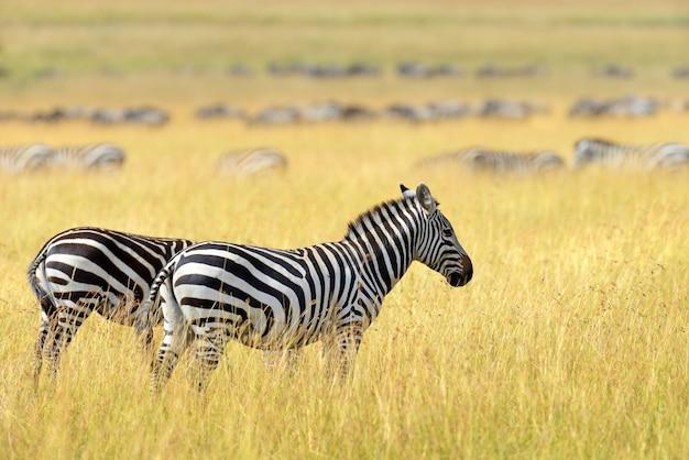 アフリカの草原のシマウマ、ケニアの国立公園