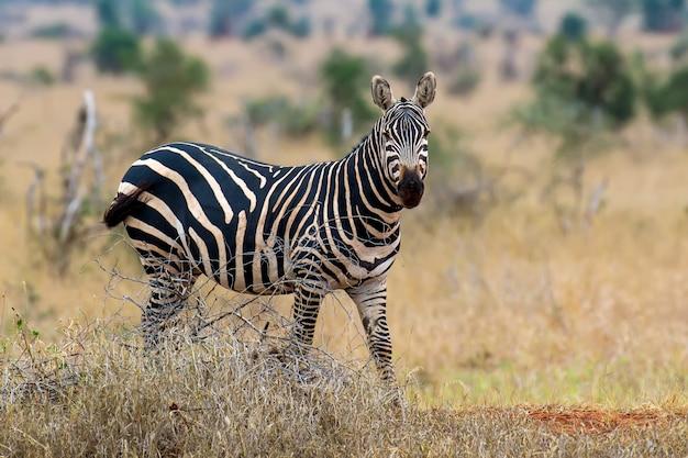 ケニアの国立公園、アフリカの草原のシマウマ