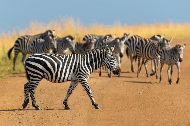 アフリカの草原、ケニアの国立公園のシマウマ