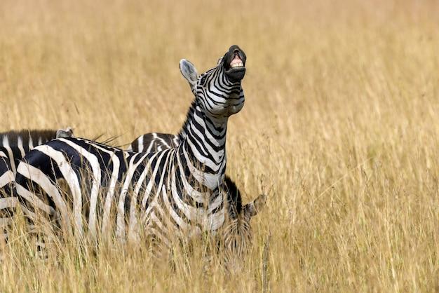 Зебра на лугах в африке, национальный парк кении