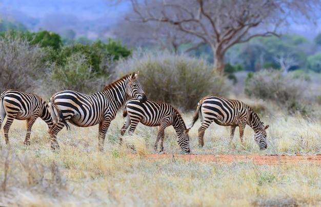 アフリカの草原のシマウマ
