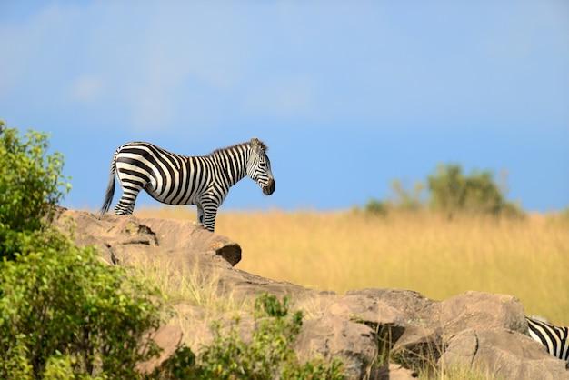 Зебра на лугах в африке