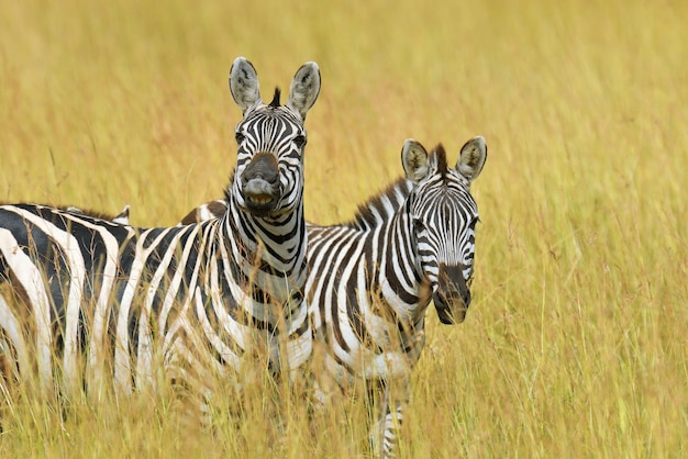 アフリカの国立公園の草原のシマウマ