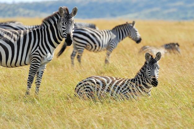 아프리카 국립 공원의 초원에 얼룩말