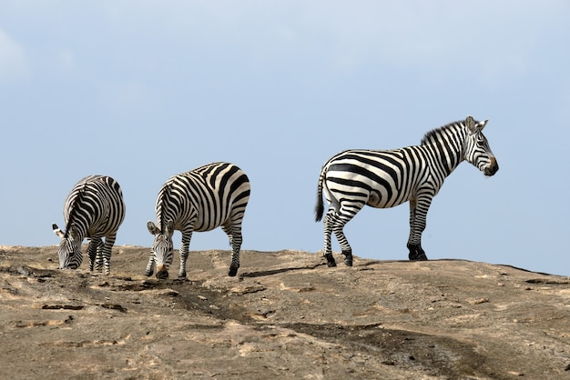 Зебра на камне в африке, национальный парк кении