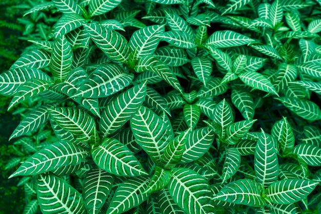 ゼブラの植物熱帯の緑の葉自然の春の季節。