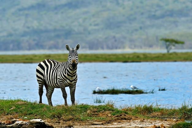 サバンナの上を歩いているアフリカのシマウマ