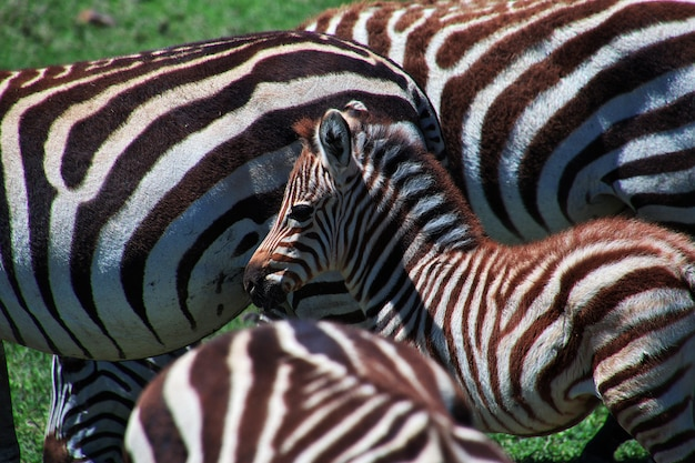 Zebra on safari in kenia and tanzania, africa
