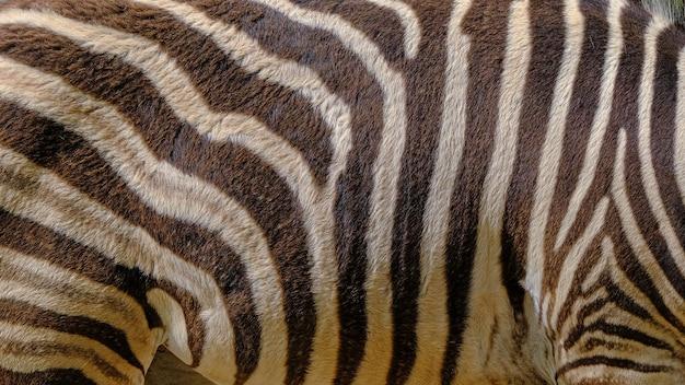 Zebra skin in a wildlife nature reserve