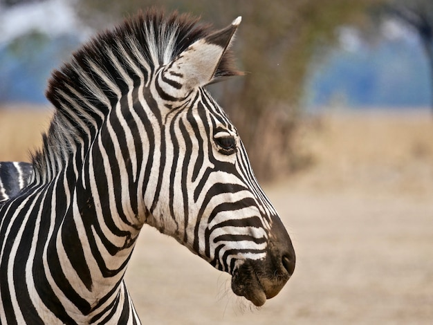 Zebra in south luangwa national park,  zambia