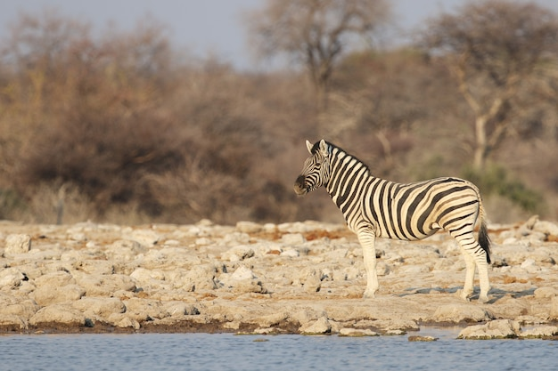 Zebra standing along the shore of a watering hole