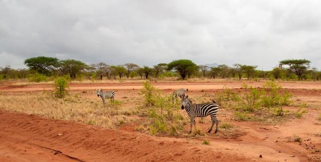 Зебра стоит у дороги в саванне