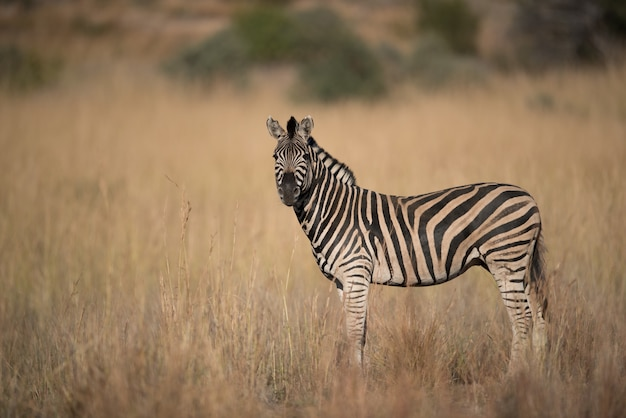 Zebra standing in a dry grassy field