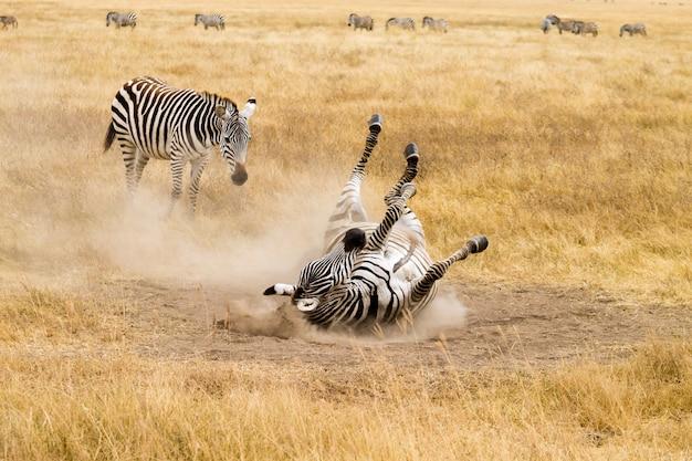 地面を転がっているシマウマ。タンザニアンゴロンゴロクレーター