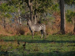 Zebra, trees
