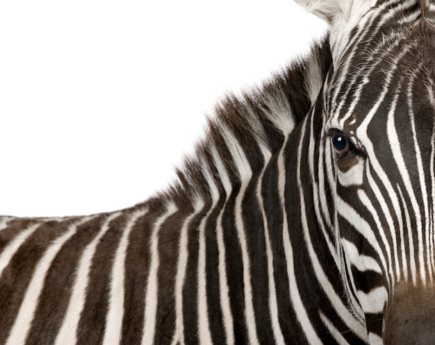 Zebra on a white isolated