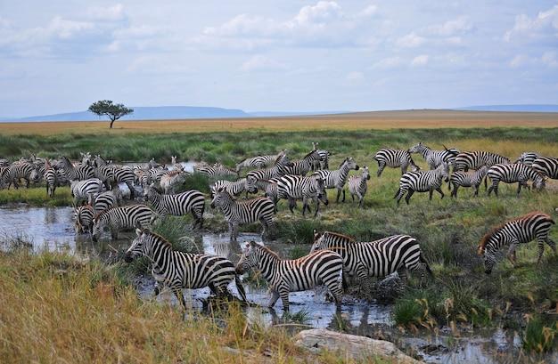 Zebra in the wild nature