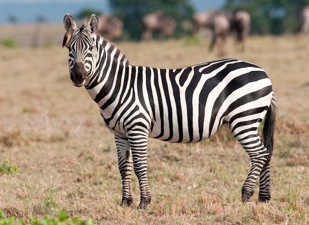 케냐의 얼룩말 야생 동물