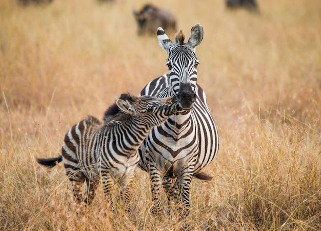 赤ちゃんと一緒にシマウマ。ケニア。タンザニア。国立公園。セレンゲティ。マーサイ・マーラ。