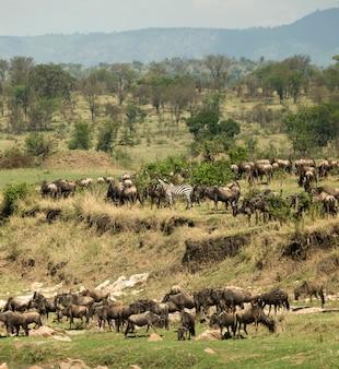 アフリカ、タンザニアのセレンゲティのシマウマとヌー