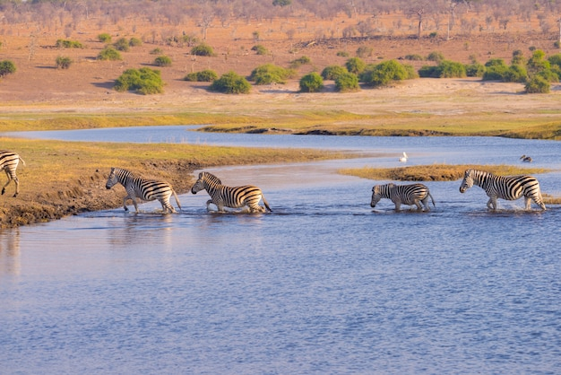 Zebras crossing chobe river. glowing warm sunset light. wildlife safari in the african national parks and wildlife reserves.