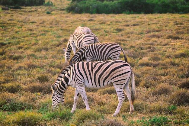 南アフリカのアッド国立公園で草を食べるシマウマ