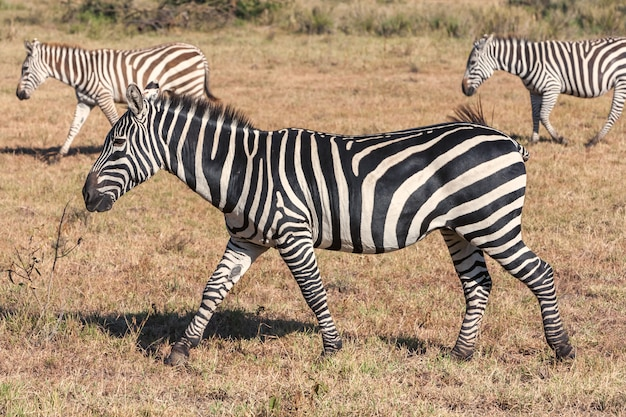 Zebras in grasslands