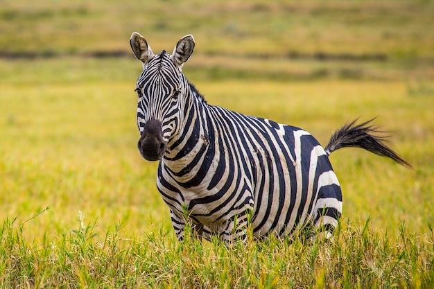 Зебры в национальном парке найваша адские ворота, полный животных. прогулка по кении или сафари на велосипеде