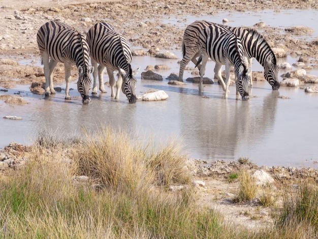 Зебры в национальном парке этоша в намибии в африке.