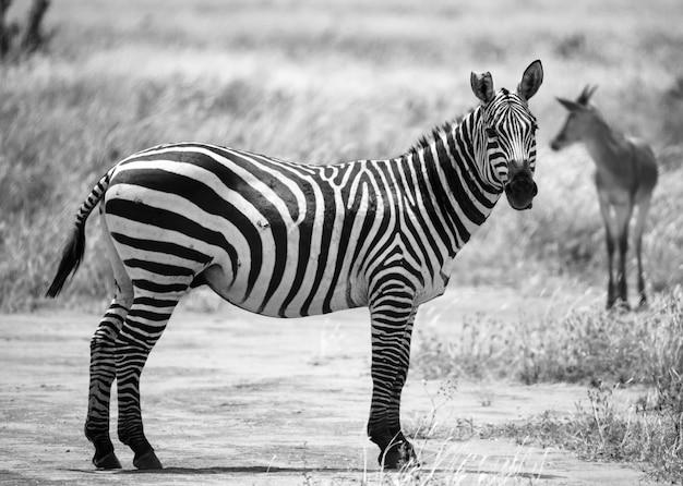 ケニアのサバンナの草の風景の中のシマウマ