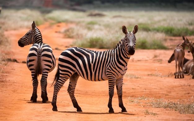 Зебры в траве ландшафта саванны кении