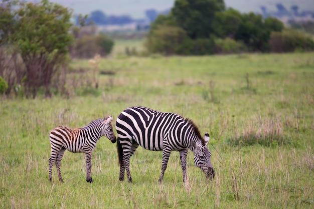 ケニアのサバンナの真ん中にシマウマ