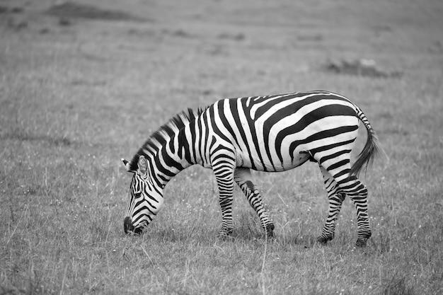 シマウマはサバンナで走って草を食む