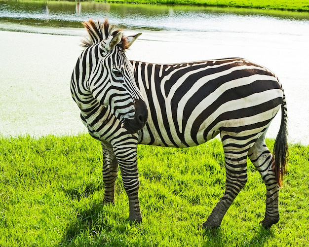 Zebras stand on the grass.