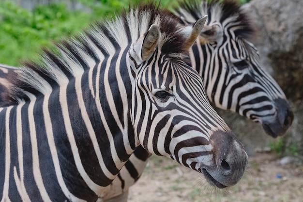Zebras standing close together