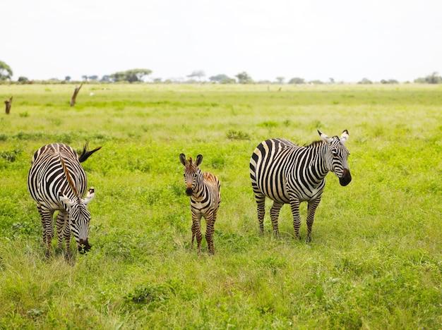 Zebras in tsavo east national park in kenya