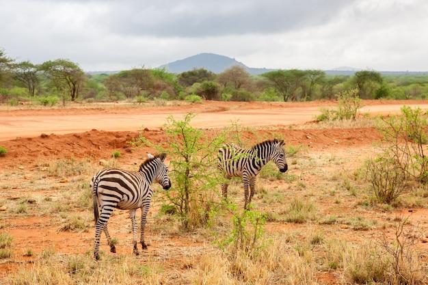 離れて歩くシマウマ、ケニアの風景