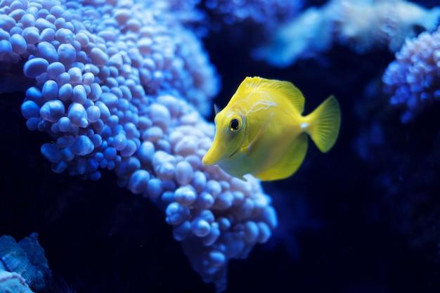 黄色の湯、海水魚(zebrasoma flavescens)
