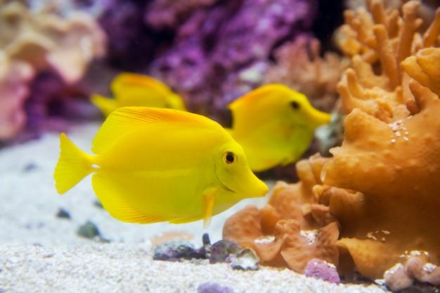 黄色の唐魚zebrasoma flavesenes