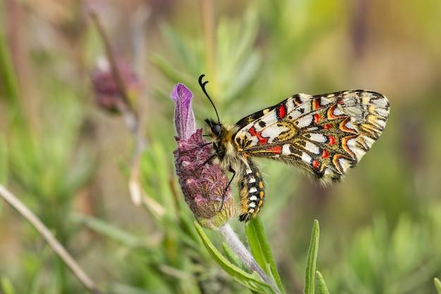 Zerynthia rumina, spanish festoon, caterpillar on a flower