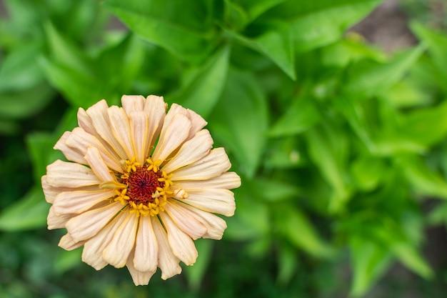 Zinnia closeup, beautiful unpretentious summer flower in the garden