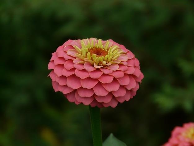 Zinnia color violacea flowers colorful