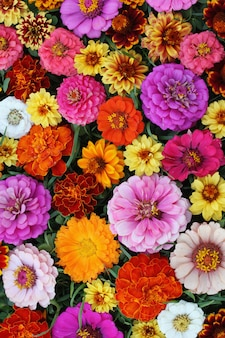 Zinnia, floral background, top view.