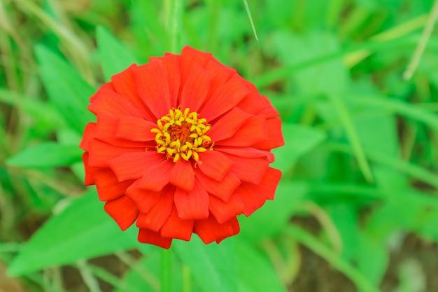 Zinnia flower blooming in garden green grass background