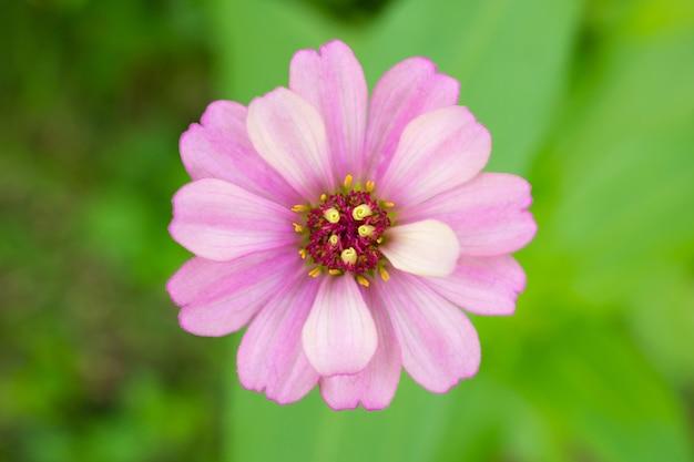 백일초 꽃 가까이